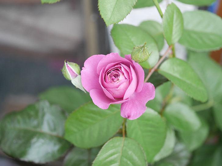 プラム・パーフェクト(Plum Perfect)の2番花が咲いた。木立バラ。2020年-002.jpg