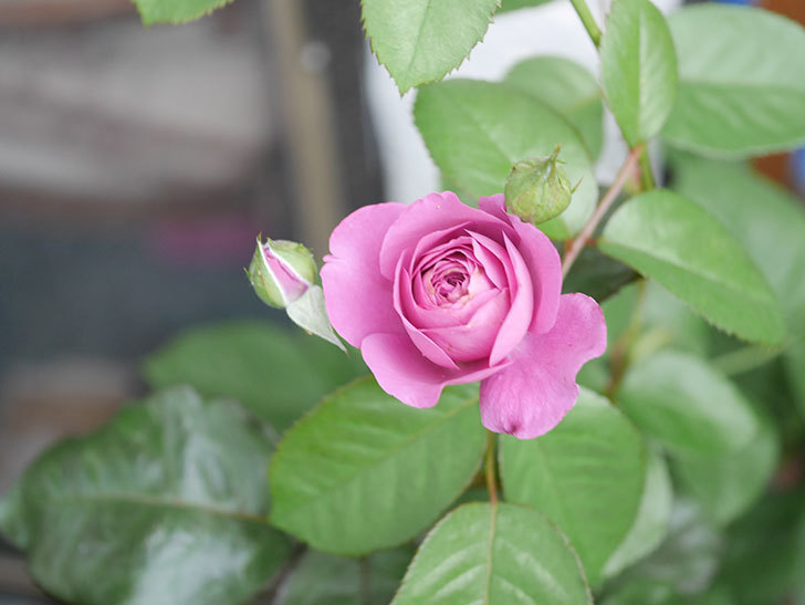 プラム・パーフェクト(Plum Perfect)の2番花が咲いた。木立バラ。2020年-003.jpg