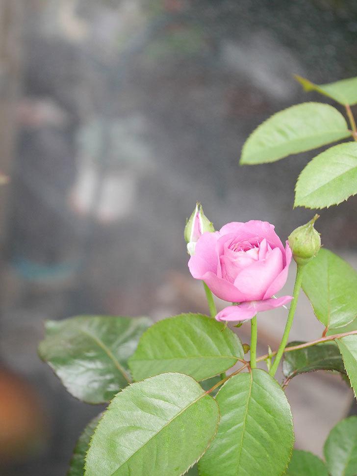 プラム・パーフェクト(Plum Perfect)の2番花が咲いた。木立バラ。2020年-004.jpg