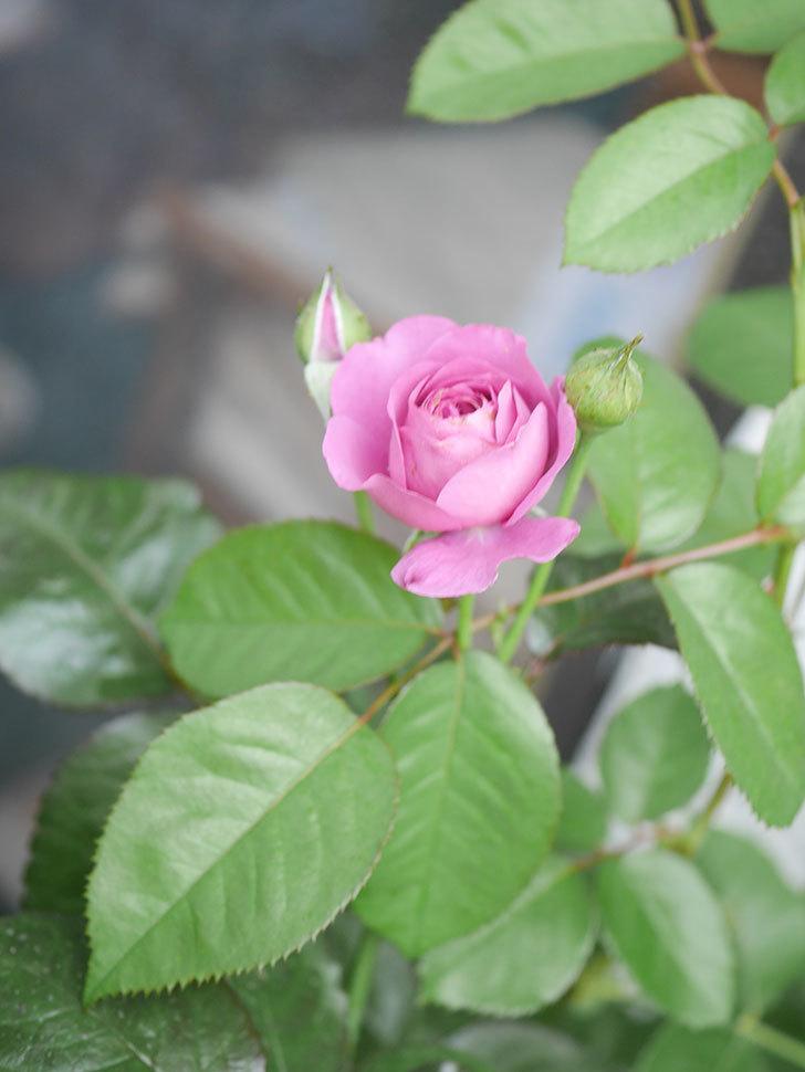 プラム・パーフェクト(Plum Perfect)の2番花が咲いた。木立バラ。2020年-005.jpg