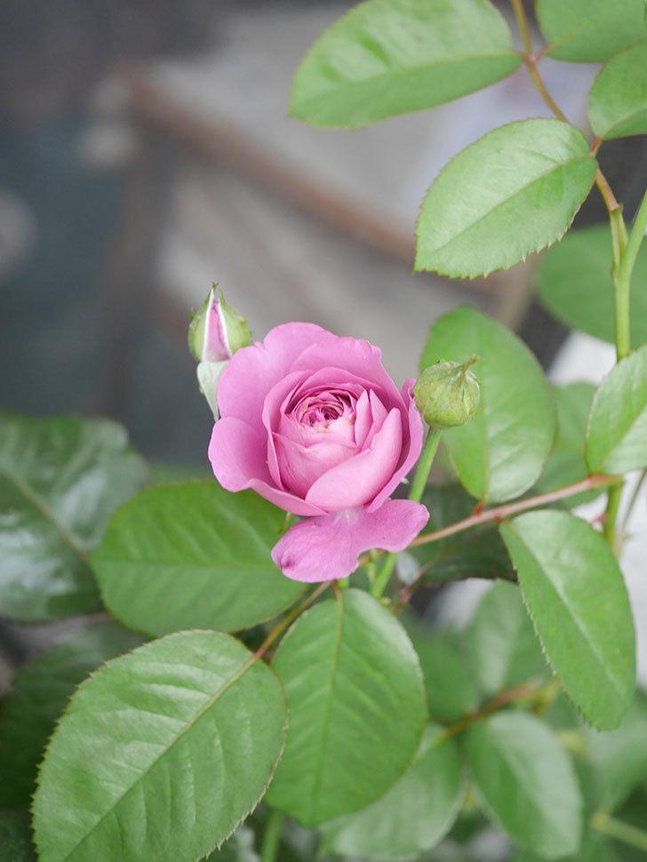 プラム・パーフェクト(Plum Perfect)の2番花が咲いた。木立バラ。2020年-006.jpg