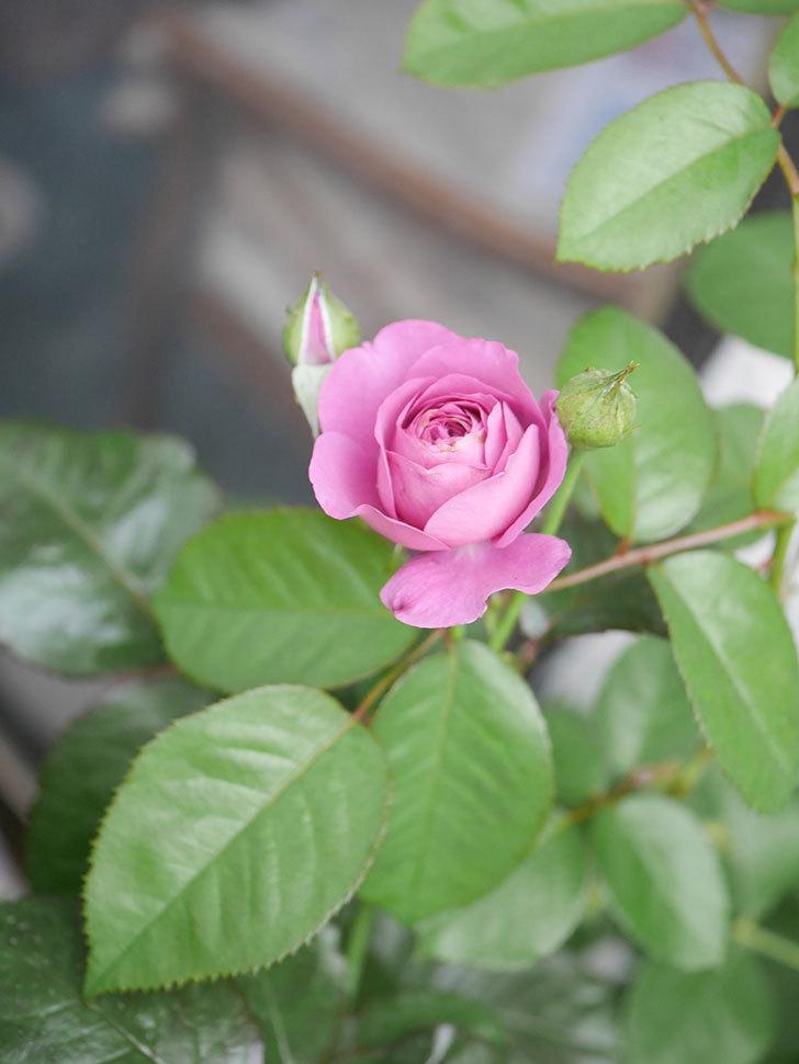 プラム・パーフェクト(Plum Perfect)の2番花が咲いた。木立バラ。2020年-007.jpg