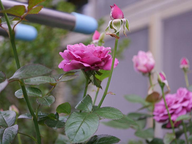 プラム・パーフェクト(Plum Perfect)の2番花が増えてきた。木立バラ。2020年-001.jpg