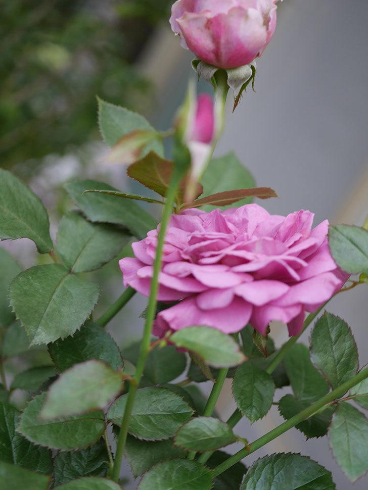 プラム・パーフェクト(Plum Perfect)の2番花が増えてきた。木立バラ。2020年-002.jpg