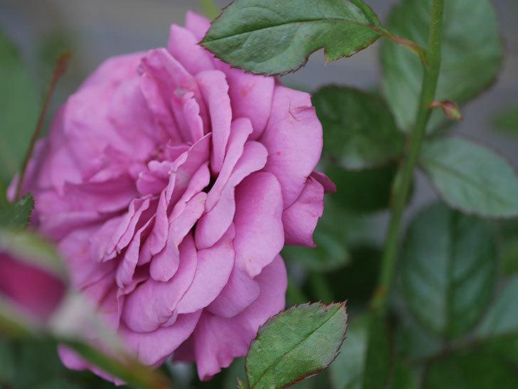 プラム・パーフェクト(Plum Perfect)の2番花が増えてきた。木立バラ。2020年-003.jpg