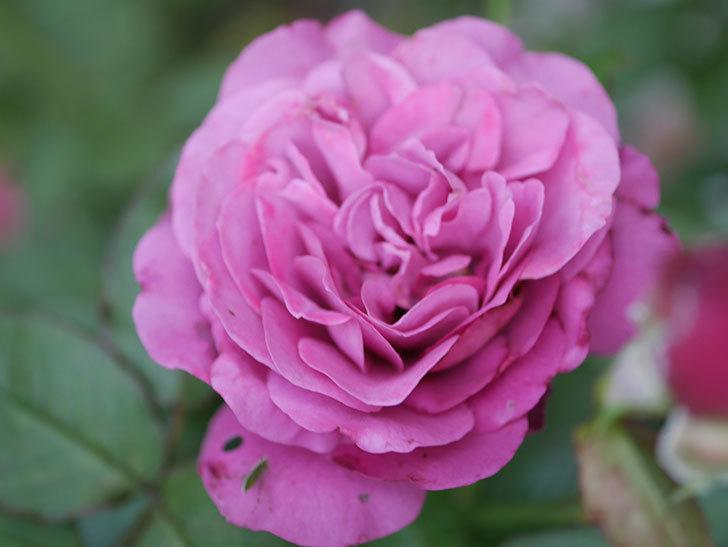 プラム・パーフェクト(Plum Perfect)の2番花が増えてきた。木立バラ。2020年-004.jpg