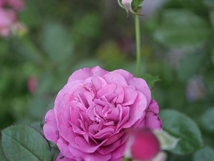 プラム・パーフェクト(Plum Perfect)の2番花が増えてきた。木立バラ。2020年-005.jpg