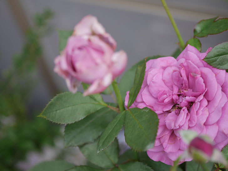 プラム・パーフェクト(Plum Perfect)の2番花が増えてきた。木立バラ。2020年-006.jpg