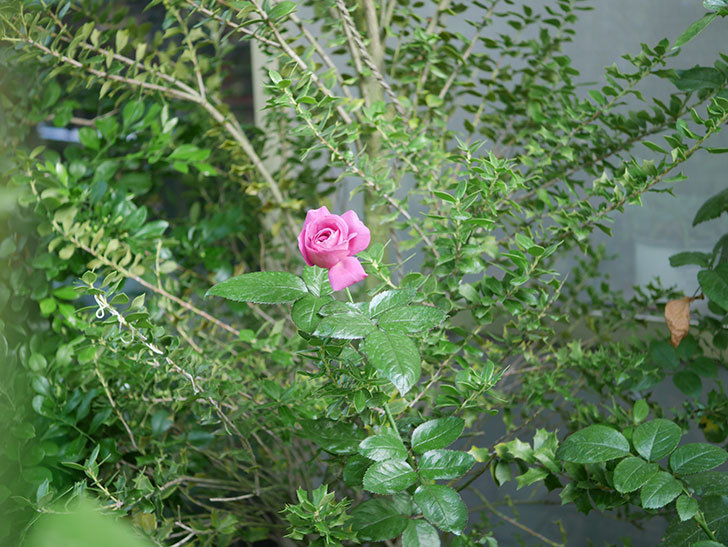 プラム・パーフェクト(Plum Perfect)の夏花が咲いた。木立バラ。2020年-001.jpg