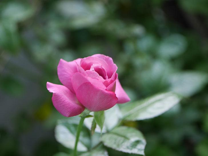 プラム・パーフェクト(Plum Perfect)の夏花が咲いた。木立バラ。2020年-002.jpg