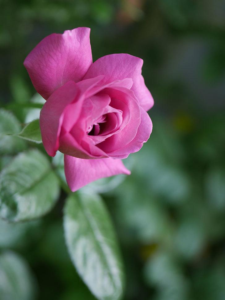 プラム・パーフェクト(Plum Perfect)の夏花が咲いた。木立バラ。2020年-003.jpg