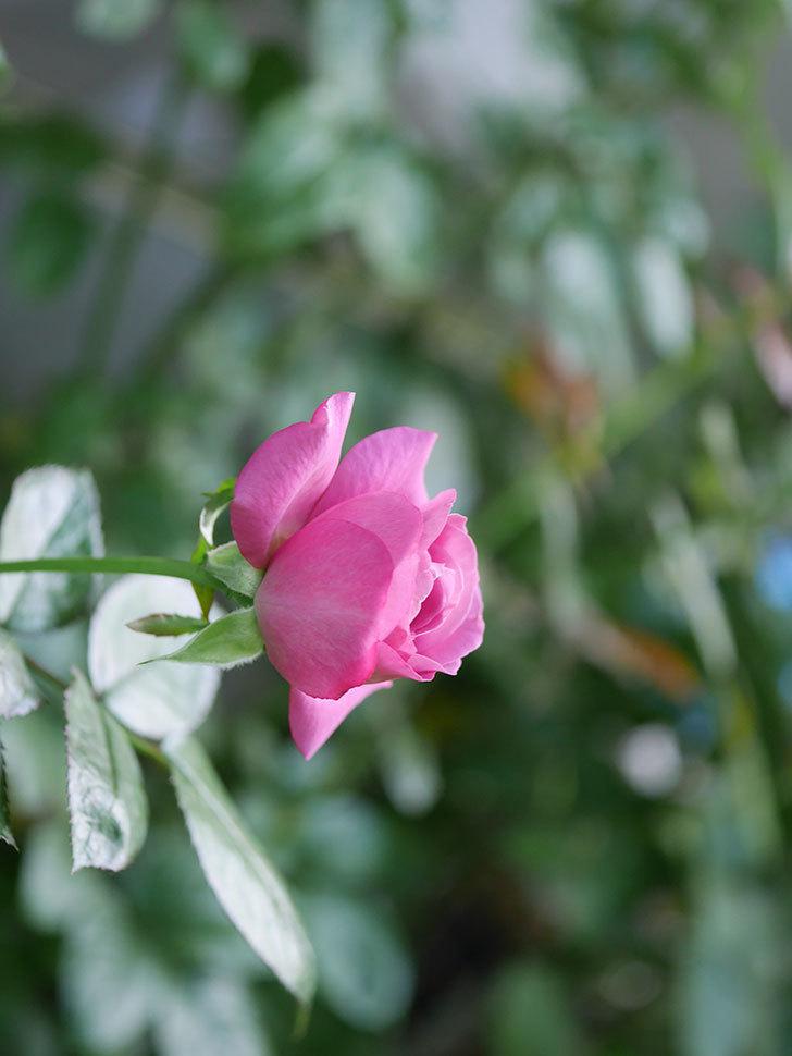 プラム・パーフェクト(Plum Perfect)の夏花が咲いた。木立バラ。2020年-004.jpg