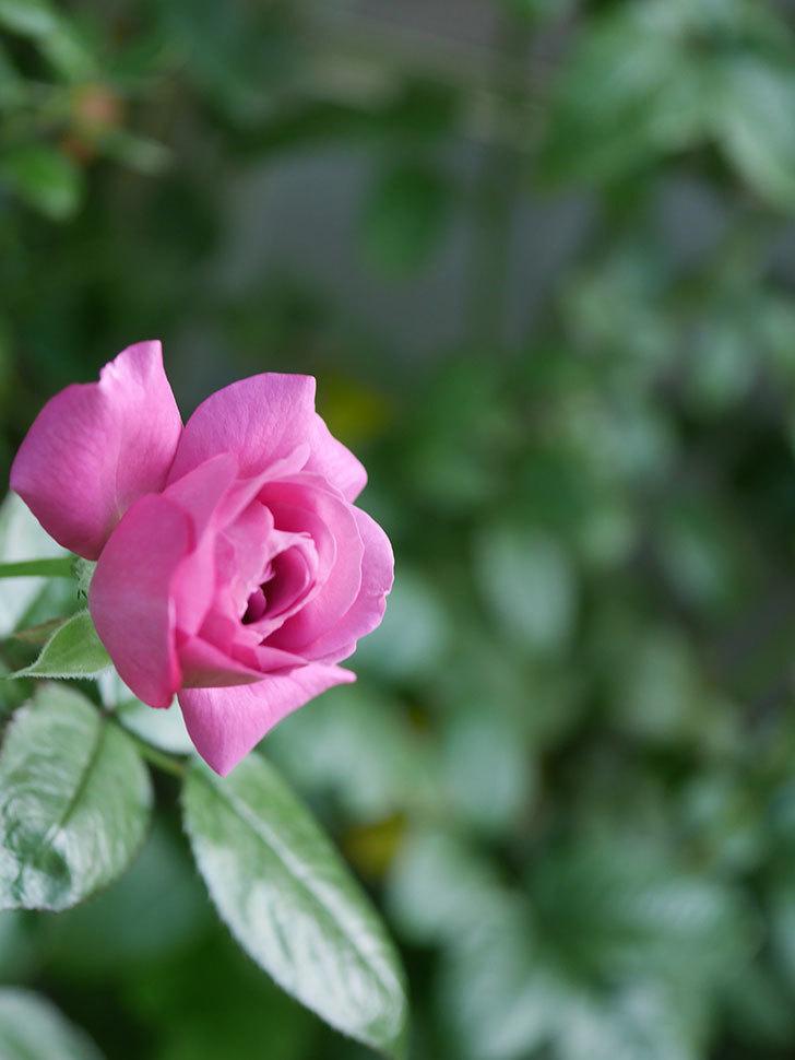 プラム・パーフェクト(Plum Perfect)の夏花が咲いた。木立バラ。2020年-005.jpg