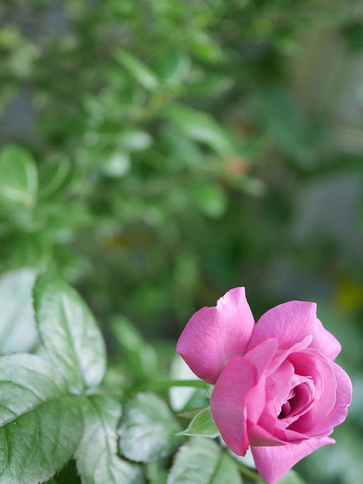 プラム・パーフェクト(Plum Perfect)の夏花が咲いた。木立バラ。2020年-006.jpg