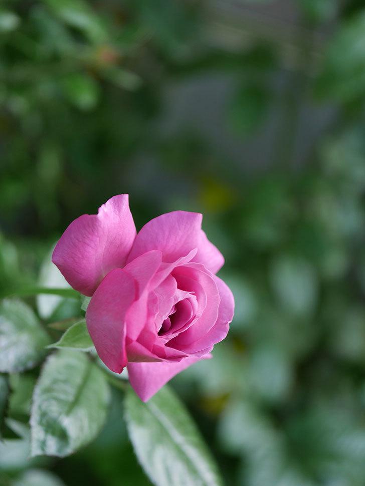 プラム・パーフェクト(Plum Perfect)の夏花が咲いた。木立バラ。2020年-007.jpg