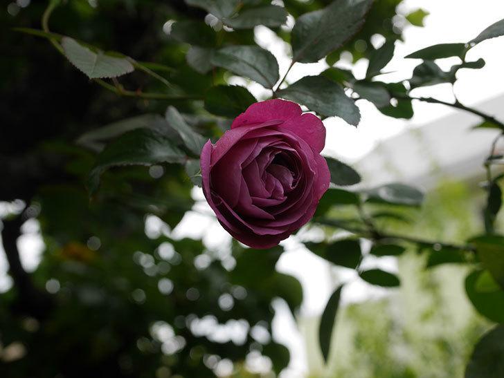 プラム・パーフェクト(Plum Perfect)の秋花が咲いた。木立バラ。2020年-001.jpg