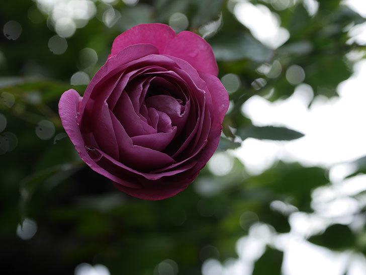 プラム・パーフェクト(Plum Perfect)の秋花が咲いた。木立バラ。2020年-002.jpg