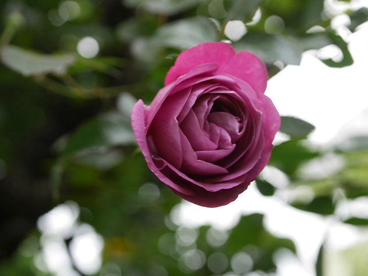 プラム・パーフェクト(Plum Perfect)の秋花が咲いた。木立バラ。2020年-003.jpg