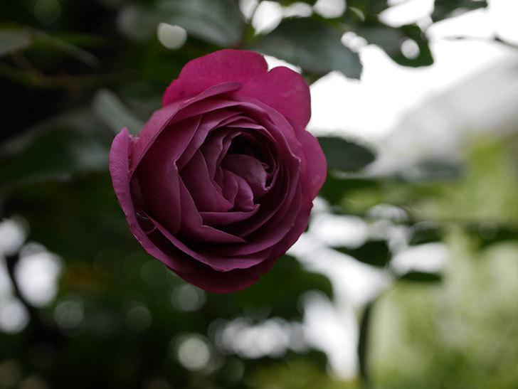 プラム・パーフェクト(Plum Perfect)の秋花が咲いた。木立バラ。2020年-004.jpg