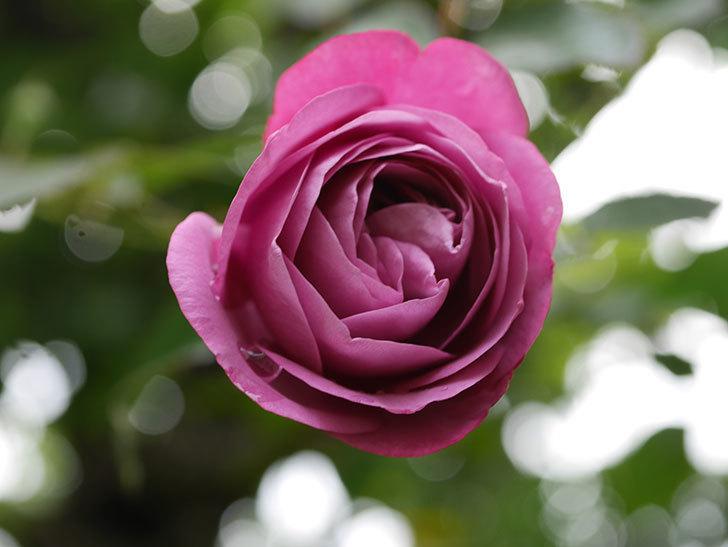 プラム・パーフェクト(Plum Perfect)の秋花が咲いた。木立バラ。2020年-006.jpg