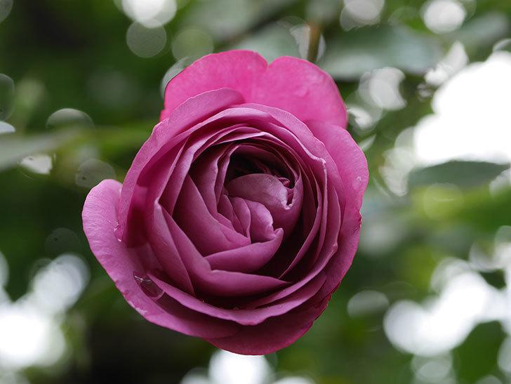 プラム・パーフェクト(Plum Perfect)の秋花が咲いた。木立バラ。2020年-007.jpg