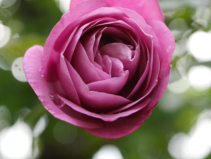 プラム・パーフェクト(Plum Perfect)の秋花が咲いた。木立バラ。2020年-008.jpg