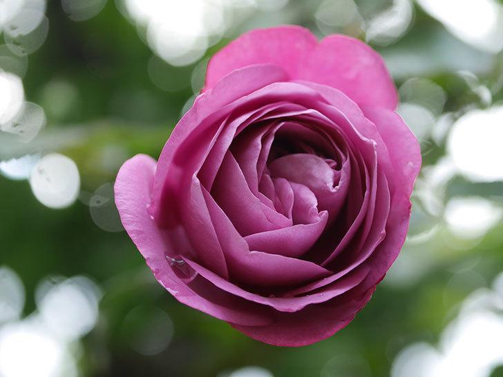 プラム・パーフェクト(Plum Perfect)の秋花が咲いた。木立バラ。2020年-009.jpg