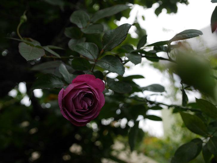 プラム・パーフェクト(Plum Perfect)の秋花が咲いた。木立バラ。2020年-010.jpg
