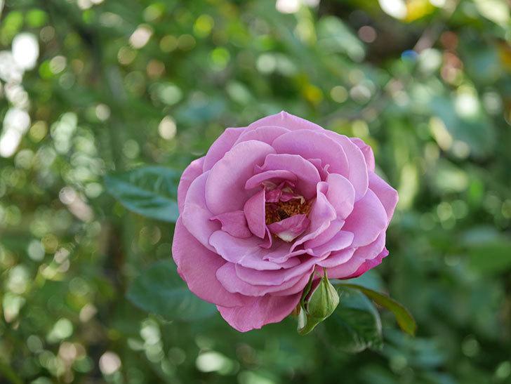 プラム・パーフェクト(Plum Perfect)の秋花が咲いた。木立バラ。2020年-011.jpg