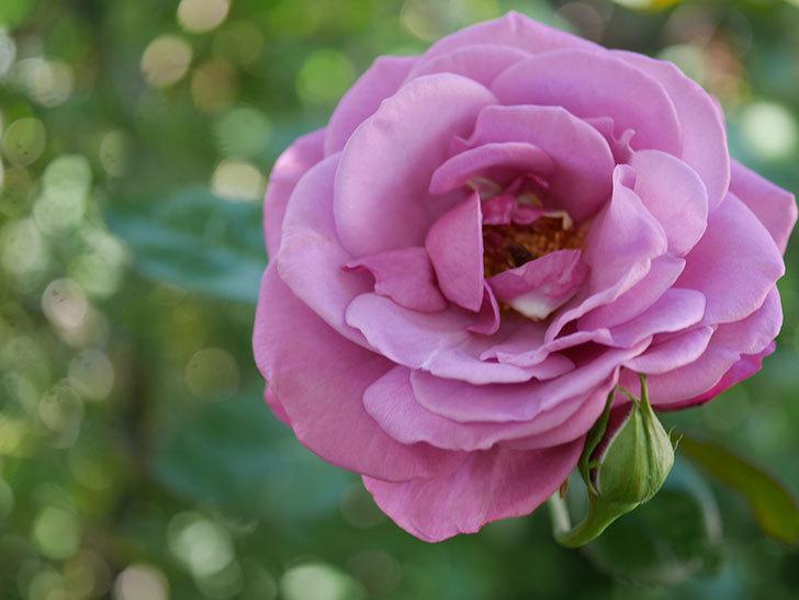 プラム・パーフェクト(Plum Perfect)の秋花が咲いた。木立バラ。2020年-013.jpg