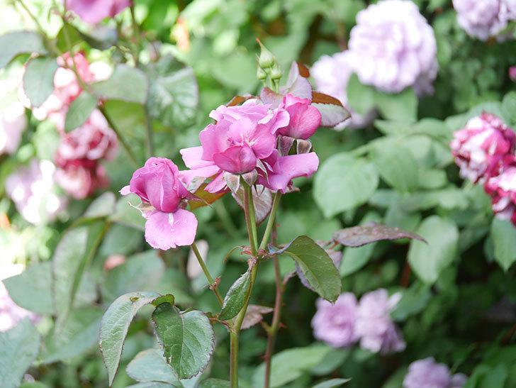 プラム・パーフェクト(Plum Perfect)の花がたくさん咲いた。木立バラ。2021年-001.jpg