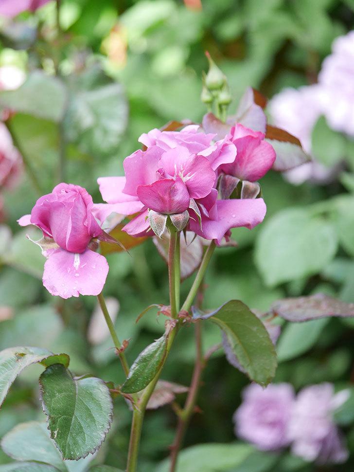 プラム・パーフェクト(Plum Perfect)の花がたくさん咲いた。木立バラ。2021年-002.jpg