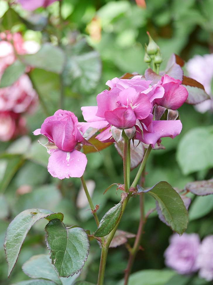 プラム・パーフェクト(Plum Perfect)の花がたくさん咲いた。木立バラ。2021年-003.jpg