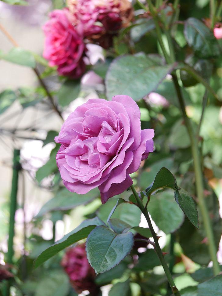 プラム・パーフェクト(Plum Perfect)の花がたくさん咲いた。木立バラ。2021年-004.jpg