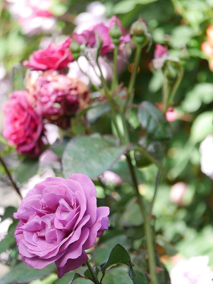 プラム・パーフェクト(Plum Perfect)の花がたくさん咲いた。木立バラ。2021年-005.jpg
