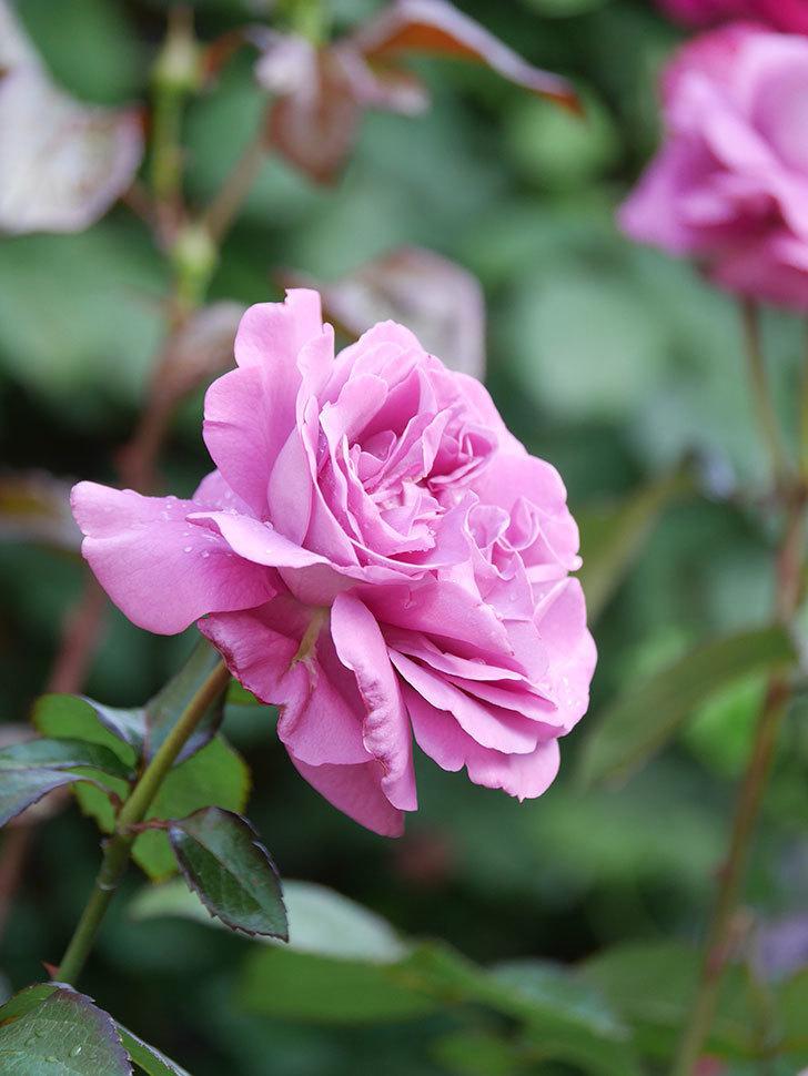 プラム・パーフェクト(Plum Perfect)の花がたくさん咲いた。木立バラ。2021年-007.jpg