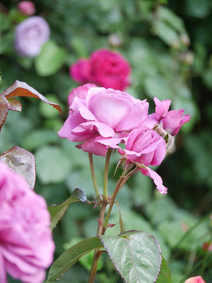 プラム・パーフェクト(Plum Perfect)の花がたくさん咲いた。木立バラ。2021年-008.jpg