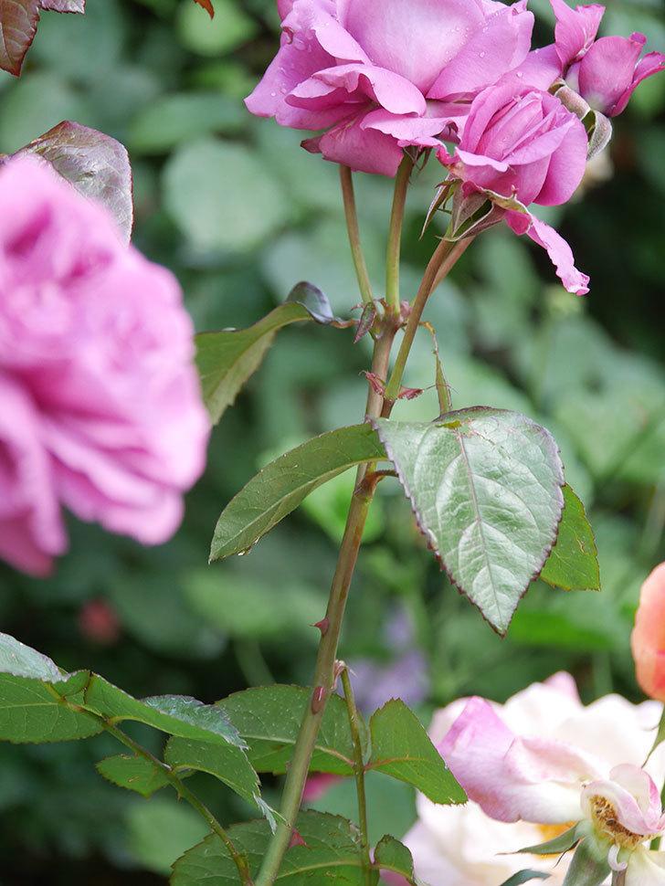 プラム・パーフェクト(Plum Perfect)の花がたくさん咲いた。木立バラ。2021年-009.jpg