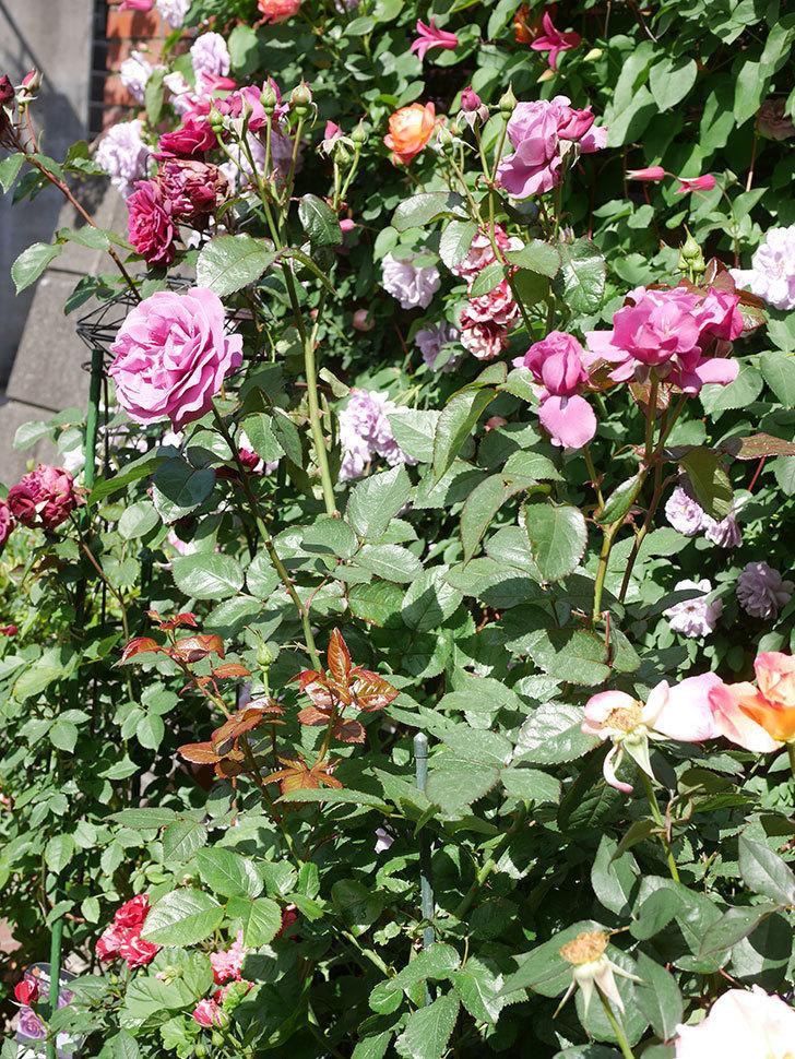 プラム・パーフェクト(Plum Perfect)の花がたくさん咲いた。木立バラ。2021年-011.jpg
