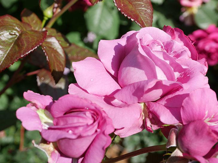 プラム・パーフェクト(Plum Perfect)の花がたくさん咲いた。木立バラ。2021年-014.jpg
