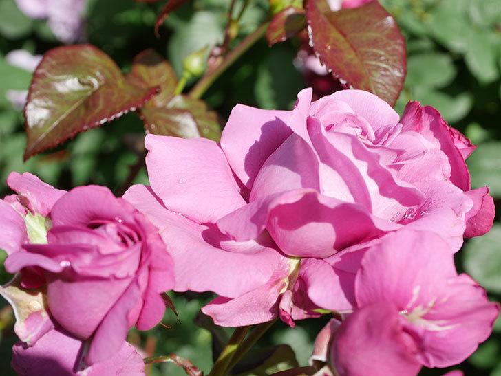 プラム・パーフェクト(Plum Perfect)の花がたくさん咲いた。木立バラ。2021年-015.jpg