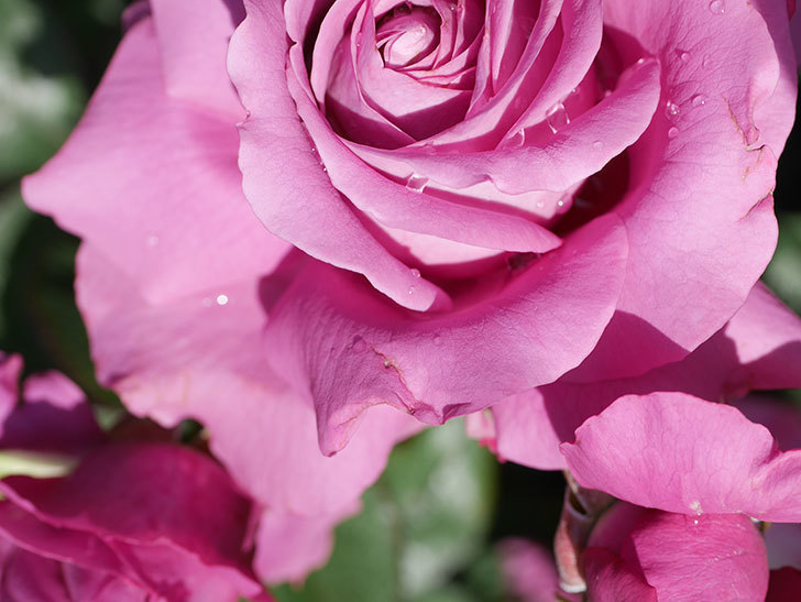 プラム・パーフェクト(Plum Perfect)の花がたくさん咲いた。木立バラ。2021年-016.jpg