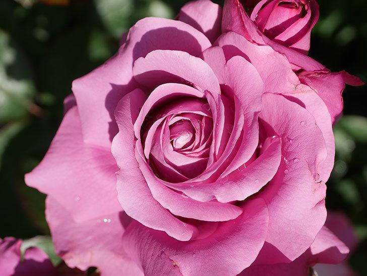 プラム・パーフェクト(Plum Perfect)の花がたくさん咲いた。木立バラ。2021年-017.jpg