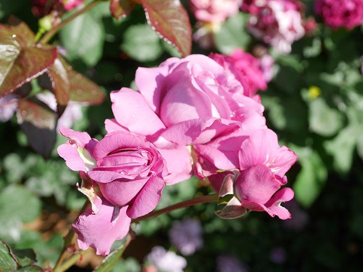 プラム・パーフェクト(Plum Perfect)の花がたくさん咲いた。木立バラ。2021年-018.jpg