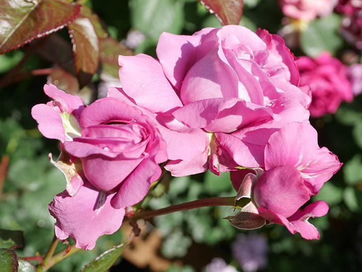 プラム・パーフェクト(Plum Perfect)の花がたくさん咲いた。木立バラ。2021年-019.jpg