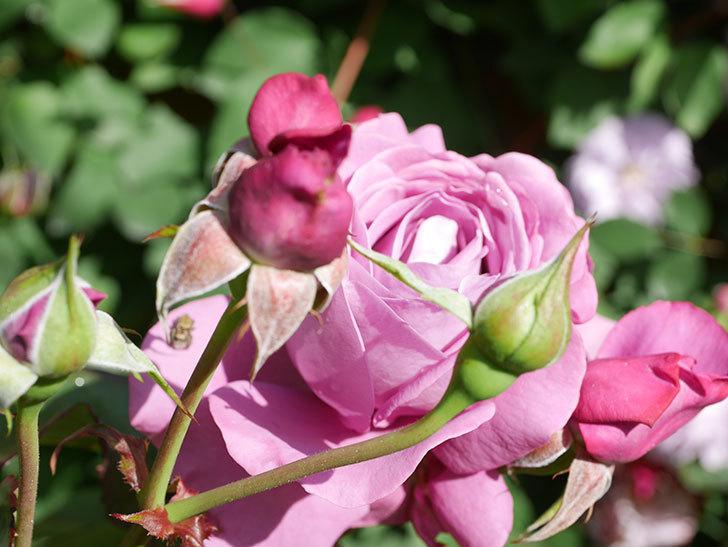 プラム・パーフェクト(Plum Perfect)の花がたくさん咲いた。木立バラ。2021年-020.jpg