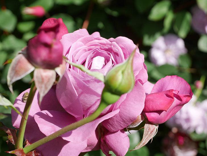 プラム・パーフェクト(Plum Perfect)の花がたくさん咲いた。木立バラ。2021年-021.jpg