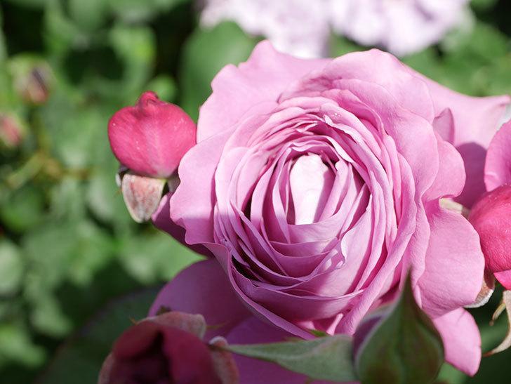 プラム・パーフェクト(Plum Perfect)の花がたくさん咲いた。木立バラ。2021年-022.jpg