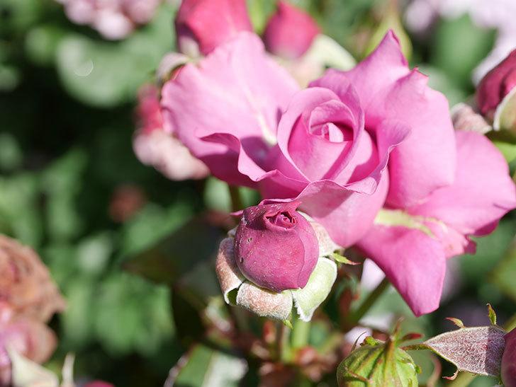 プラム・パーフェクト(Plum Perfect)の花がたくさん咲いた。木立バラ。2021年-023.jpg