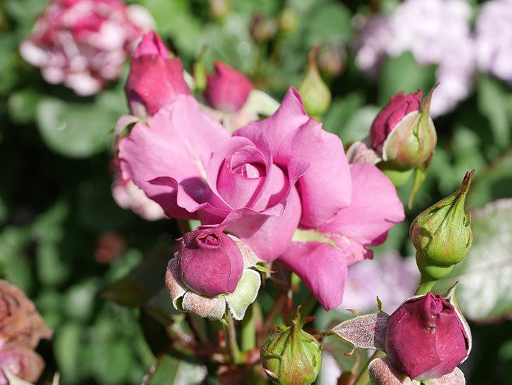 プラム・パーフェクト(Plum Perfect)の花がたくさん咲いた。木立バラ。2021年-024.jpg